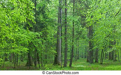 oud, eiken, in, zomer, nevelig bos