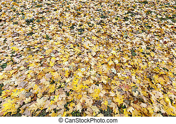 oud, het gebladerte van de herfst