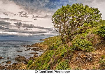 oud, noordelijk, agriates, des, boompje, verdraaid, dennenboom, rotsen, kusten, plakkerig, woestijn, corsica