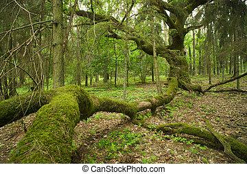 oud, oak.