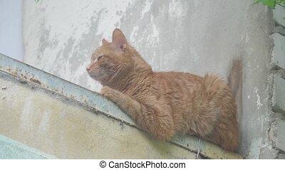 oud, rood, kat zitten, op, de, balkon, thuis, summer.,...