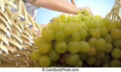 oude vrouw, dragende mand, met, seedless, kishmish, witte druiven