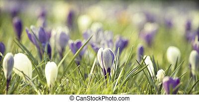 ouderwetse , foto, van, lente, akker, met, kleurrijke,...