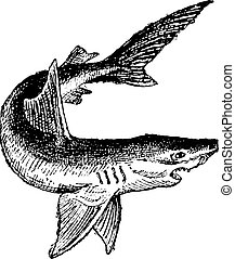 ouderwetse , haai, engraving., vrijstaand, witte