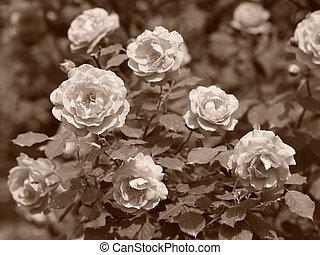 ouderwetse , tuin, rozen