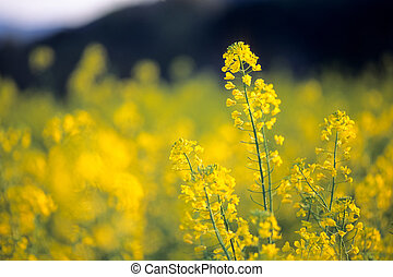 Ourf field mustard