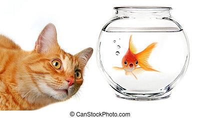 ouro, gato, calico, observar, peixe