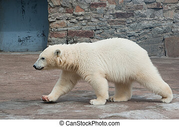 ours blanc, petit