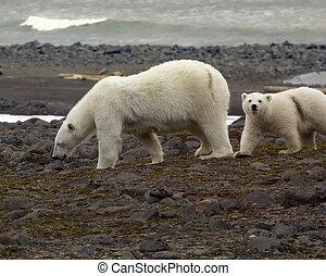ours blanc, sur, les, franz-josef, land.