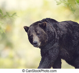 ours brun, marche