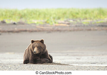 ours brun, reposer