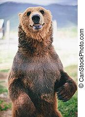 ours, grisonnant, debout