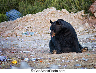 ours noir, décharge, déchets