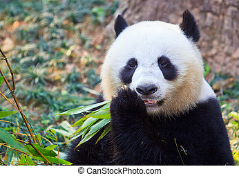 ours panda