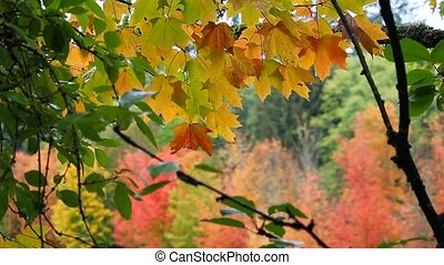 Out of focus bokeh maple leaves autumn season