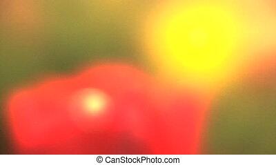 Out of focus tulips, Tulip festival, Woodburn, Oregon