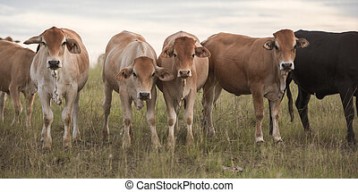 Outback Cows - Heard of cows in a paddock during the day in...