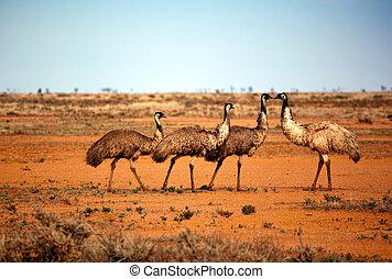outback, emù