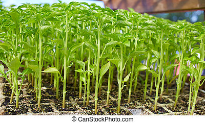 Outbreaks sprouts in nursery on Solanaceae