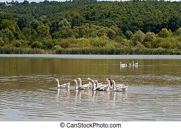 Outdoor Husbandry - geese swimming in the lake