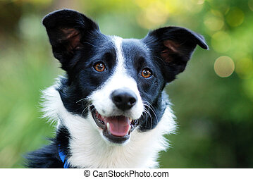 Outdoor portrait of a Border Collie dog.