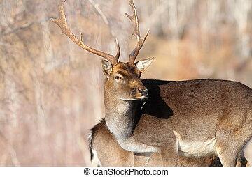 outdoor portrait of fallow deer buck ( Dama dama )
