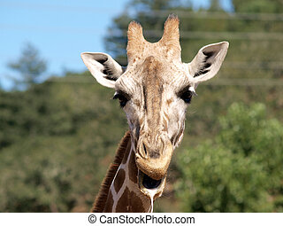 Outdoor Portrait of Giraffe drooling and chewing