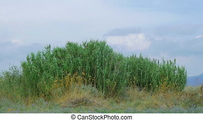 Outdoor scene with reeds - Green reeds waving in light wind...