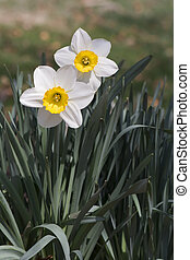 Outdoor white daffodils and green leaves