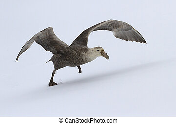 outhern giant petrel during take-off from the snow Antarctic Isl