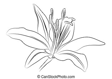Black outline lily on white background (vector illustration)