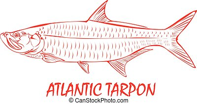 Outline of a Atlantic Tarpon fish.