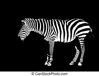 Outline of a Zebra in black and white on black background