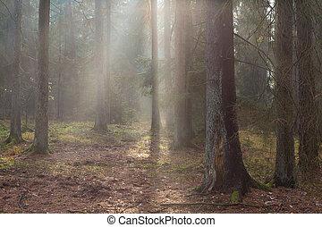 outonal, nebuloso, manhã, em, a, floresta