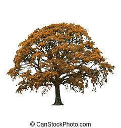 outono, árvore carvalho, abstratos