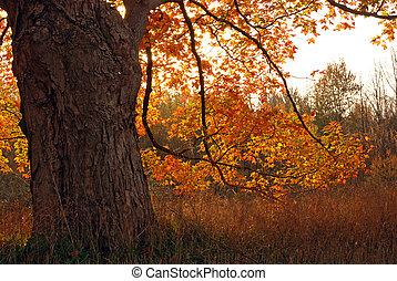 outono, árvore carvalho