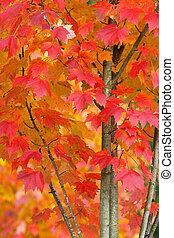 outono, árvore, closeup, maple