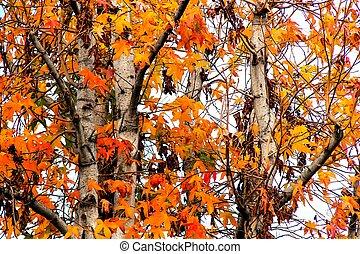 outono, árvore, com, bonito, folhas