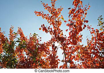 outono, árvore, com, vermelho, folheia