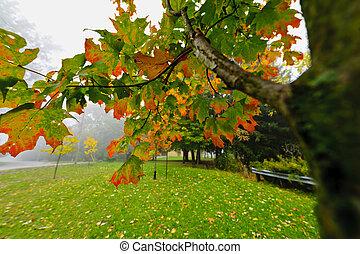 outono, árvore maple, em, nebuloso, parque
