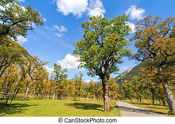 outono, áustria, maple, árvores