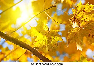 outono, amarelo sai, de, maple, e, sol
