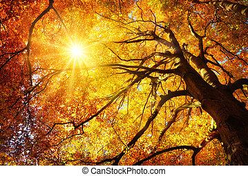 outono, brilhar sol, através, um, majestoso, árvore faia