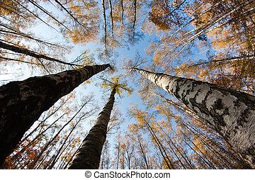 outono, céu, floresta, vidoeiro