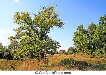 outono, campo, carvalho, amarela