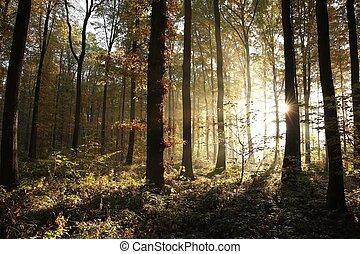 outono, decíduo, floresta, amanhecer