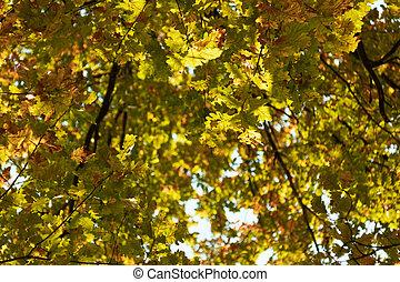 outono, experiência., carvalho, foliage