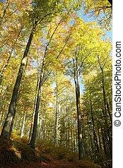 outono, faia, árvores
