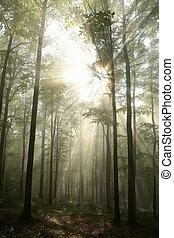 outono, faia, alvorada, floresta