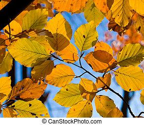 outono, faia, folhas